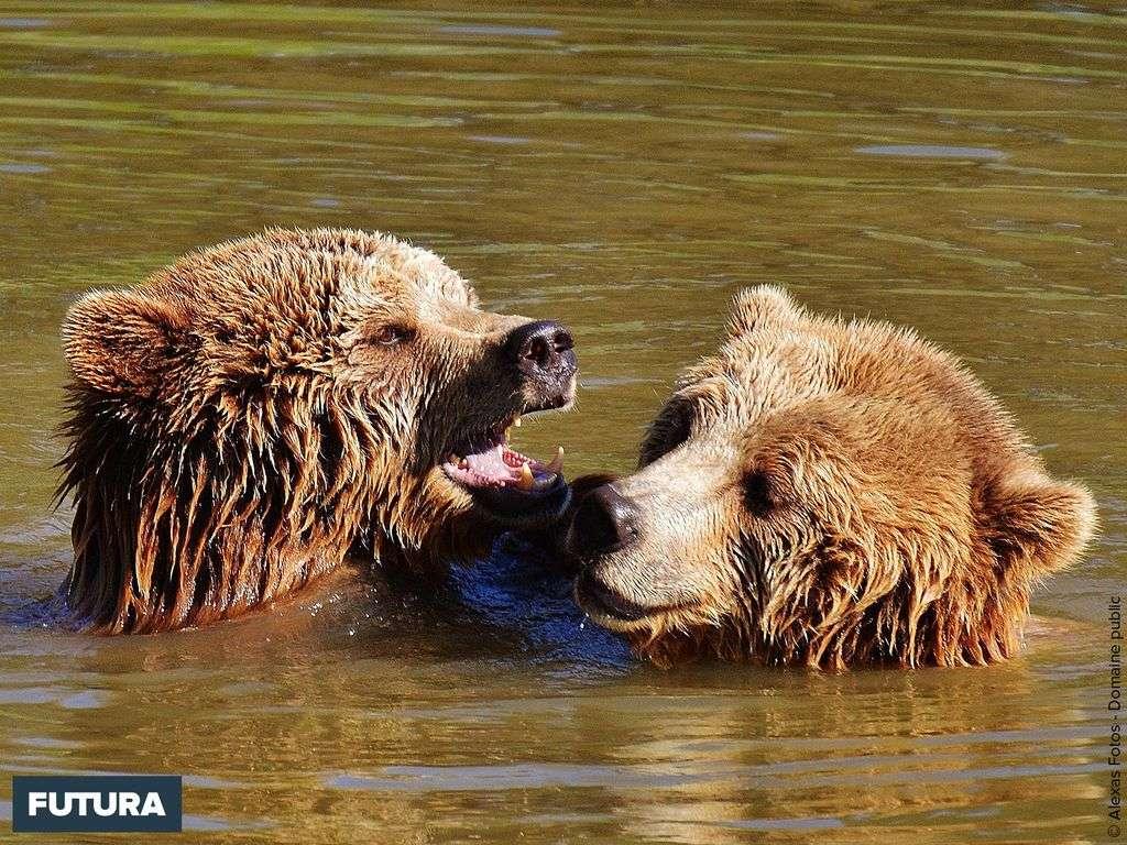 Deux oursons très joueurs