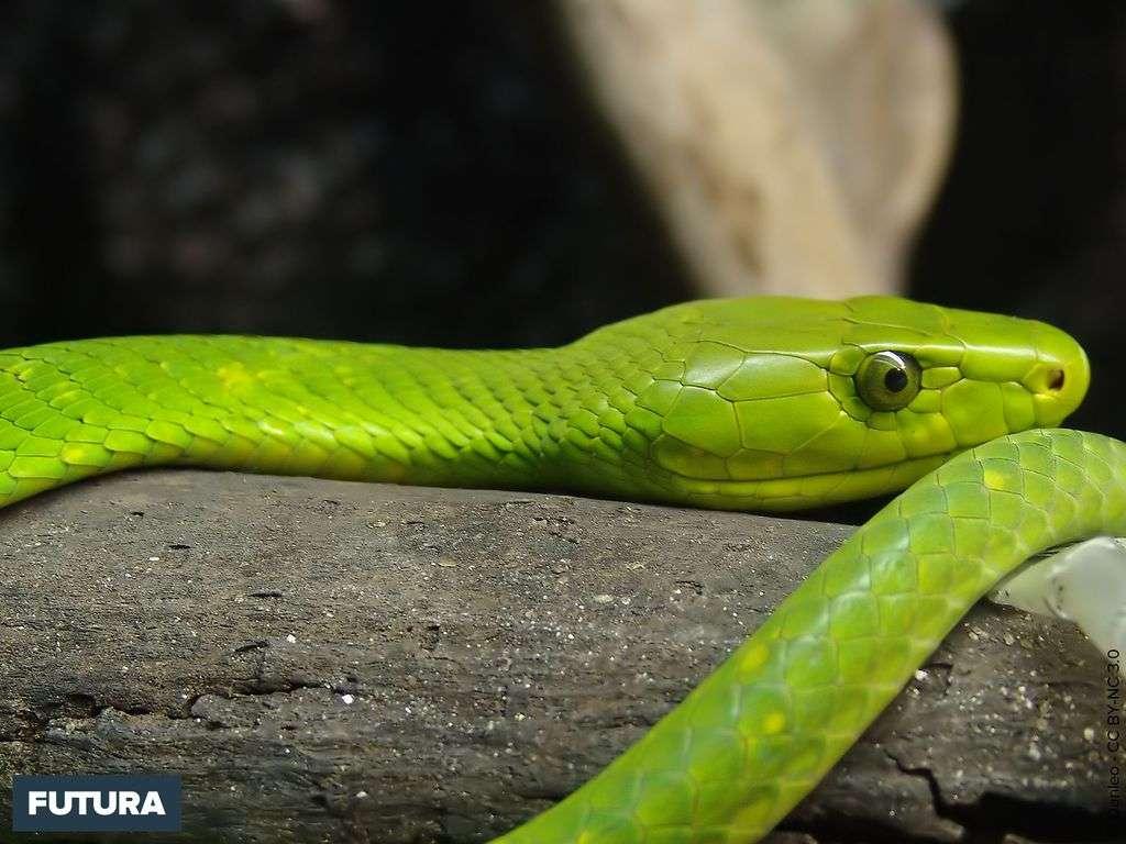 Mamba vert de l'Est - Dendroaspis angusticeps
