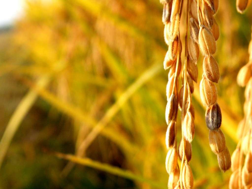La consommation de 150 grammes de riz doré par jour fournit la moitié de l'apport journalier de vitamine A recommandé pour l'adulte. © Josep Folta, Flickr