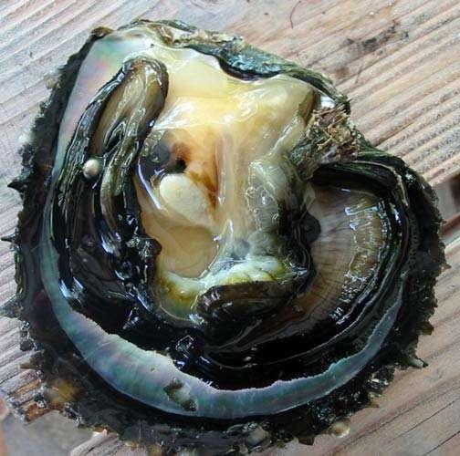 P. margaritifera avec une perle naturelle située dans le manteau. © Ifremer, tous droits de reproduction interdits