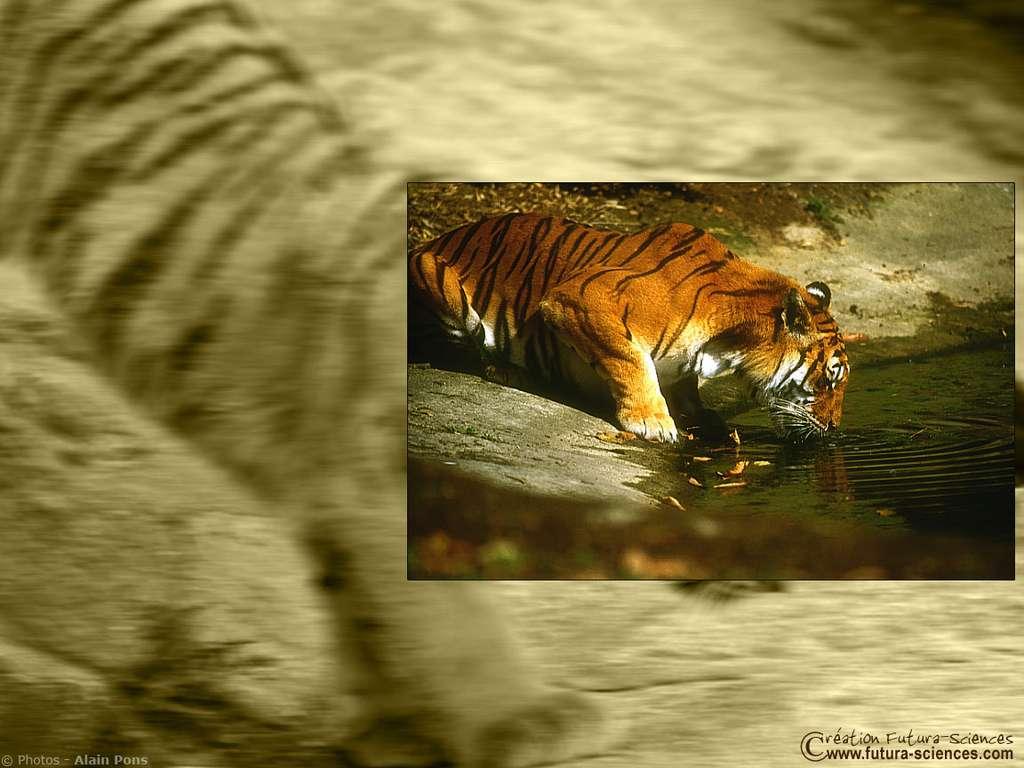 La beauté du tigre