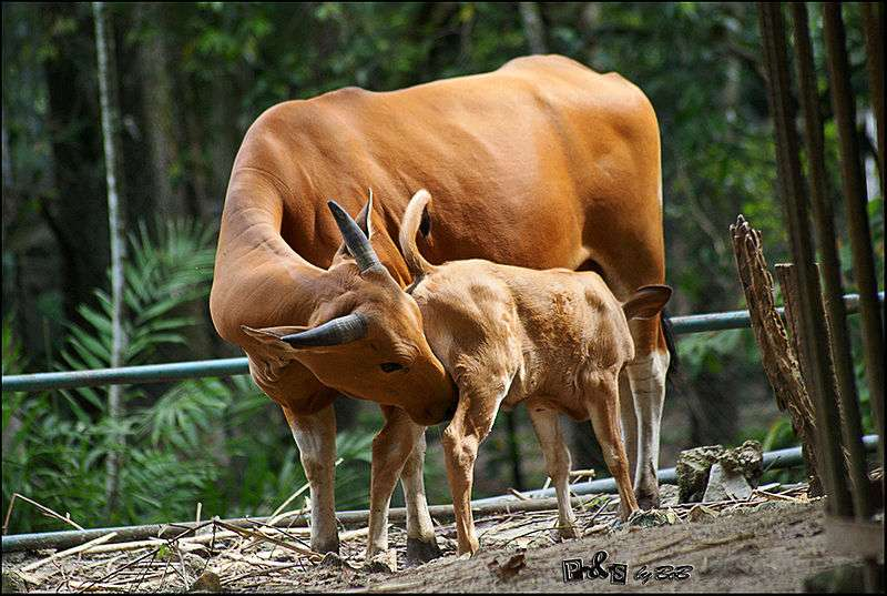 Banteng femelle et veau. © Mahbob Yusof, Creative Commons Attribution 2.0 Generic