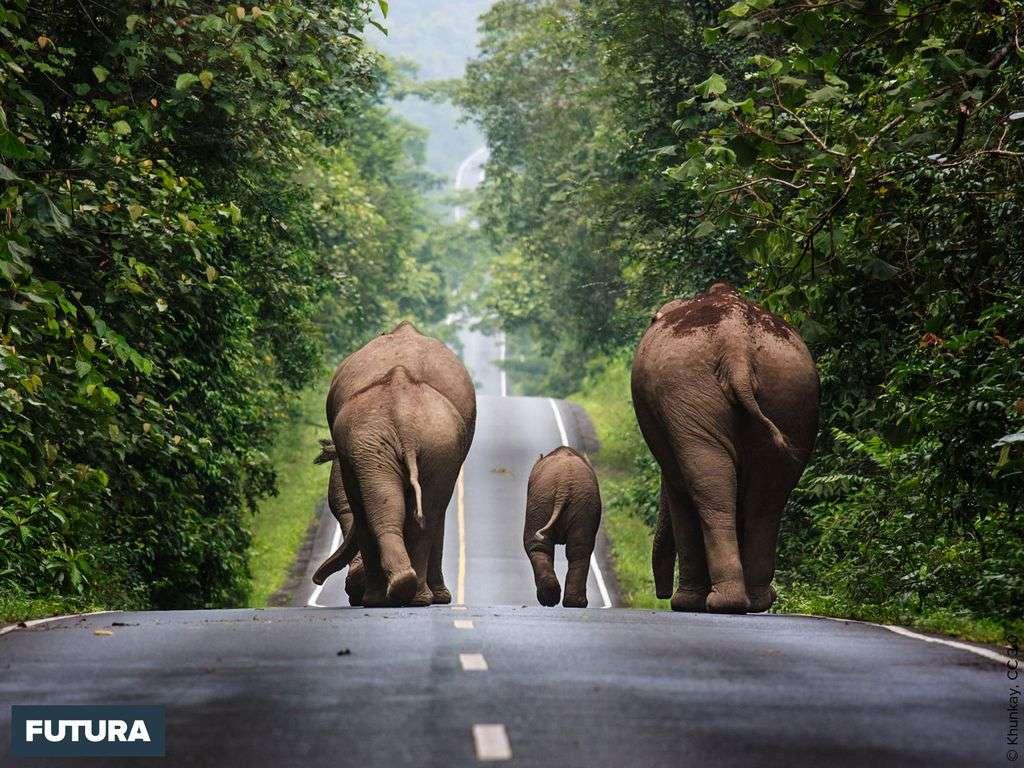 Humour : troupeaux d'éléphants se rendant en ville !