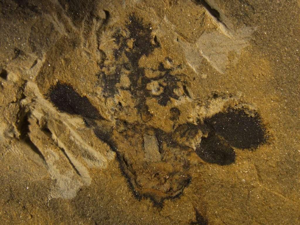 Un fossile de Nanjinganthus dendrostyla montrant son ovaire (en bas au centre), ses sépales et ses pétales (sur les côtés) et son sommet en forme d'arbre. © Fu and al., Académie chinoise des sciences