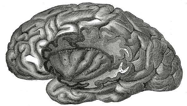 Le cortex insulaire, ici au milieu de la coupe, est impliqué dans de nombreuses fonctions, notamment l'aptitude à la dépendance ou à la conscience. © Henry Gray, Gray's Anatomy DP