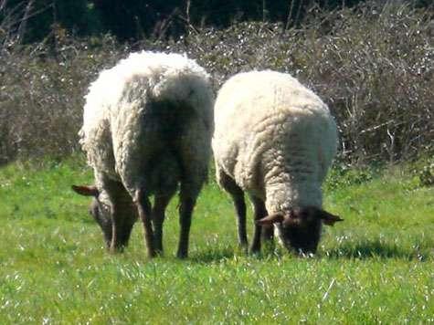 L'introduction du mouton a eu des causes sur la biodiversité. © Domaine public