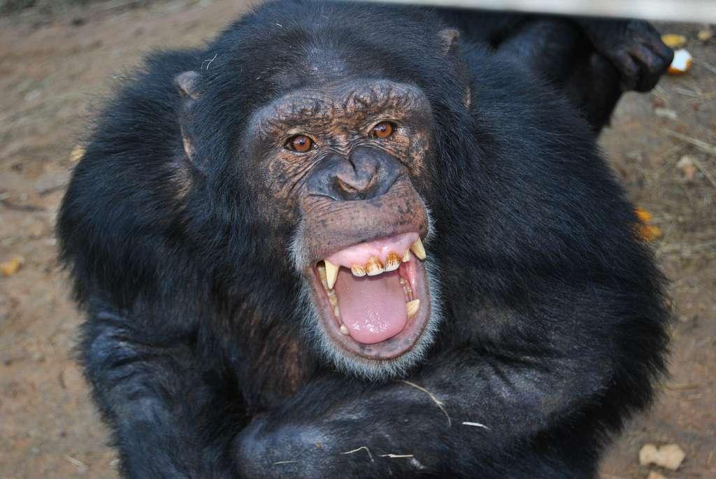 Les chimpanzés mâles restent durant toute leur vie dans la communauté qui les a vus naître. Quant aux femelles, elles peuvent migrer vers un autre groupe à l'adolescence. © AfrikaFroce, Flickr, cc by 2.0