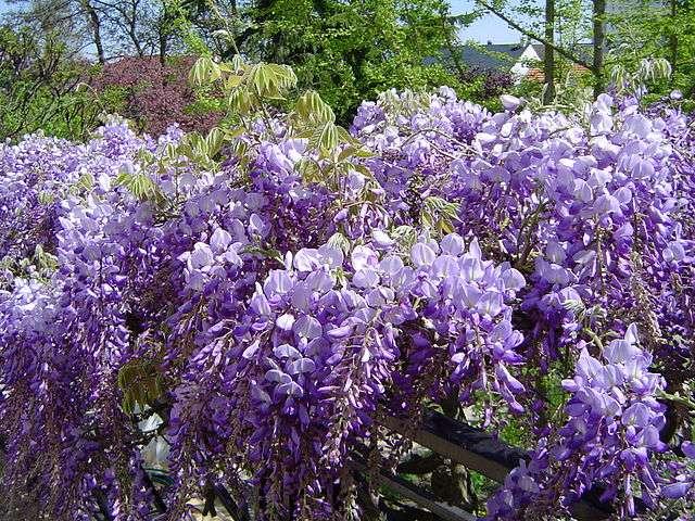 Floraison abondante de glycine. © AntonyB, Domaine Public