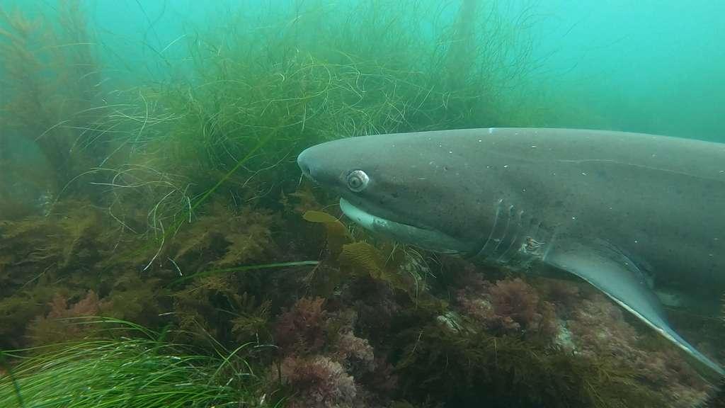 Le requin adapte son alimentation aux circonstances et peut même devenir végétarien ! © emi, Fotolia