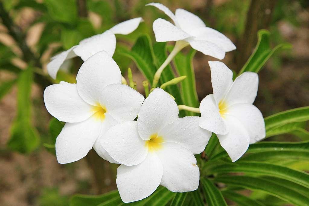 Fleurs de frangipanier à Rimatara