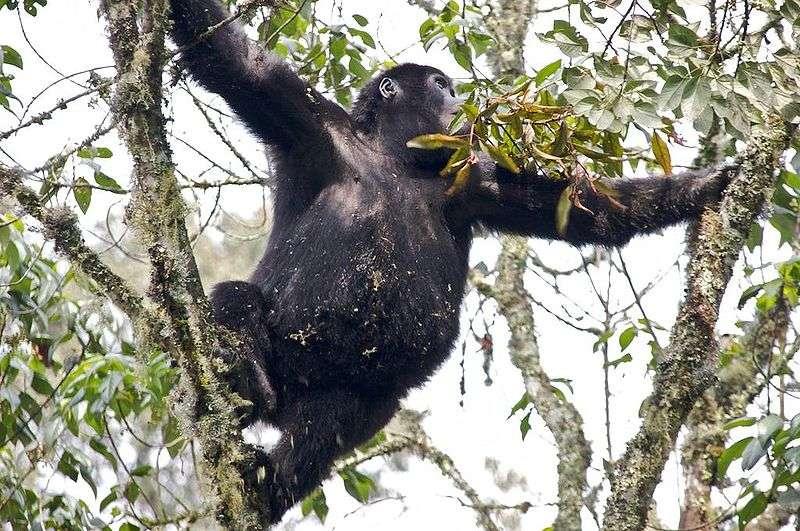 Jeune gorille des plaines de l'Est. © Justin Norton, CC by 2.0