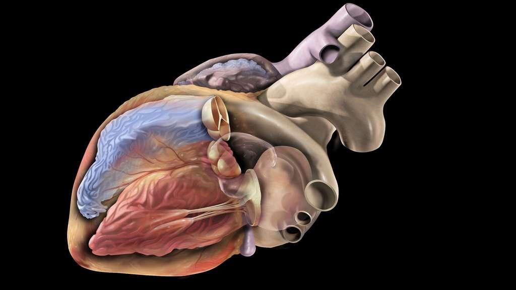 Dans cette illustration, le cœur gauche est coloré en rouge et le droit en bleu, en référence aux sangs qui transitent dans leurs cavités : le cœur gauche envoie du sang riche en oxygène dans l'organisme, tandis que le cœur droit reçoit le sang pauvre en oxygène. Trois valves cardiaques sont représentées : les valves auriculo-ventriculaires et la valve du tronc pulmonaire. © Patrick J. Lynch, CC by-sa 2.5