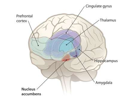 Le noyau accumbens (en rouge, nucleus accumbens) est situé au coeur du cerveau. © Y. Hammond, C. Bickel / Science 2010 AAAS
