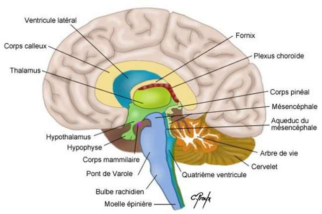 Schéma du cerveau et de ses régions. La recherche se penche sur de nouveaux médicaments contre les maladies du cerveau. © Colvir