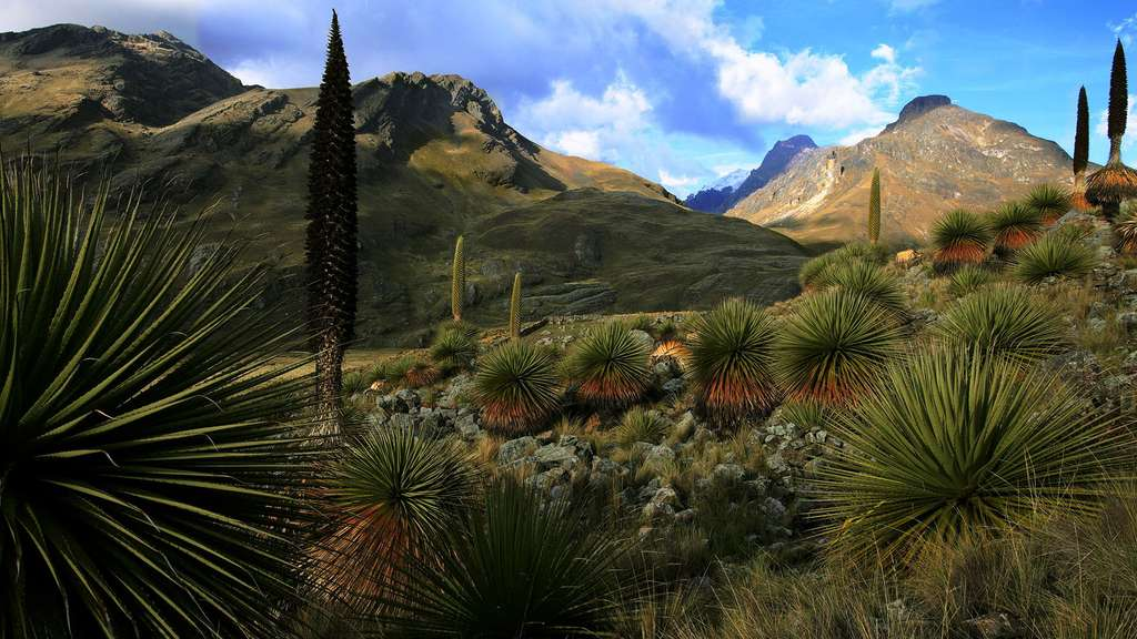 Le kitanga (Puya raimondii) ou « la Reine des Andes »