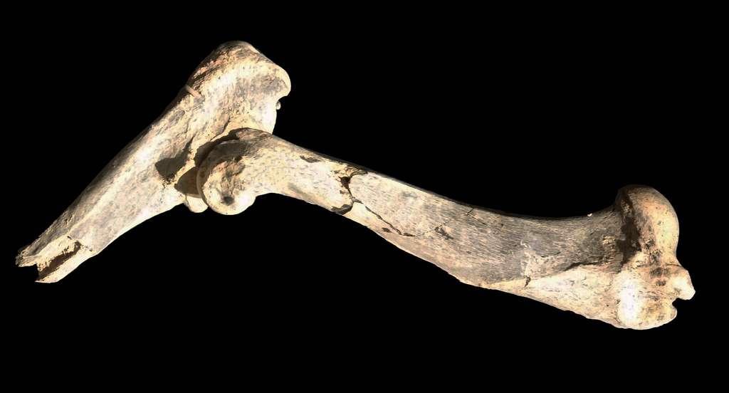 L'humérus de Machairodus lahayishupup retrouvé au Musée d'Histoire naturelle de l'Université de l'Oregon. © John Orcutt