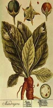 Les racines de la mandragore s'enfoncent de plus d'1 mètre dans la terre. © DR