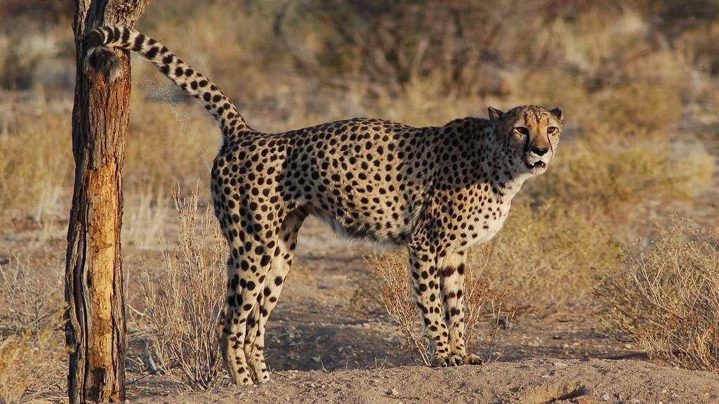Image de guépard marquant son territoire