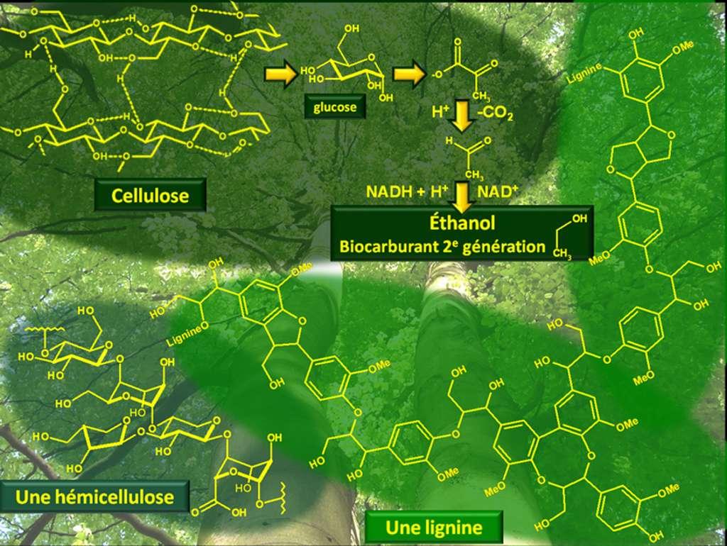 La lignocellulose, composée de lignine, d'hémicellulose et de cellulose en proportions variables, est très présente dans la paroi des cellules végétales, en particulier dans le bois. Cellulose et lignine représentent près de 70 % de la biomasse totale. © DR