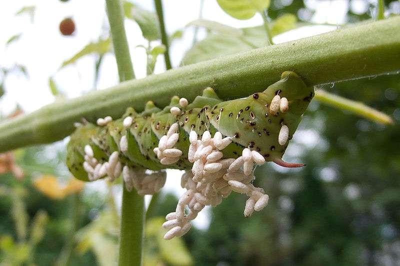 Les insectes parasitoïdes (ici une guêpe Braconidae) pondent des œufs qui dévorent les insectes parasités (ici une chenille Manduca sexta). © Stsmith, Wikimedia, CC by-sa 3.0