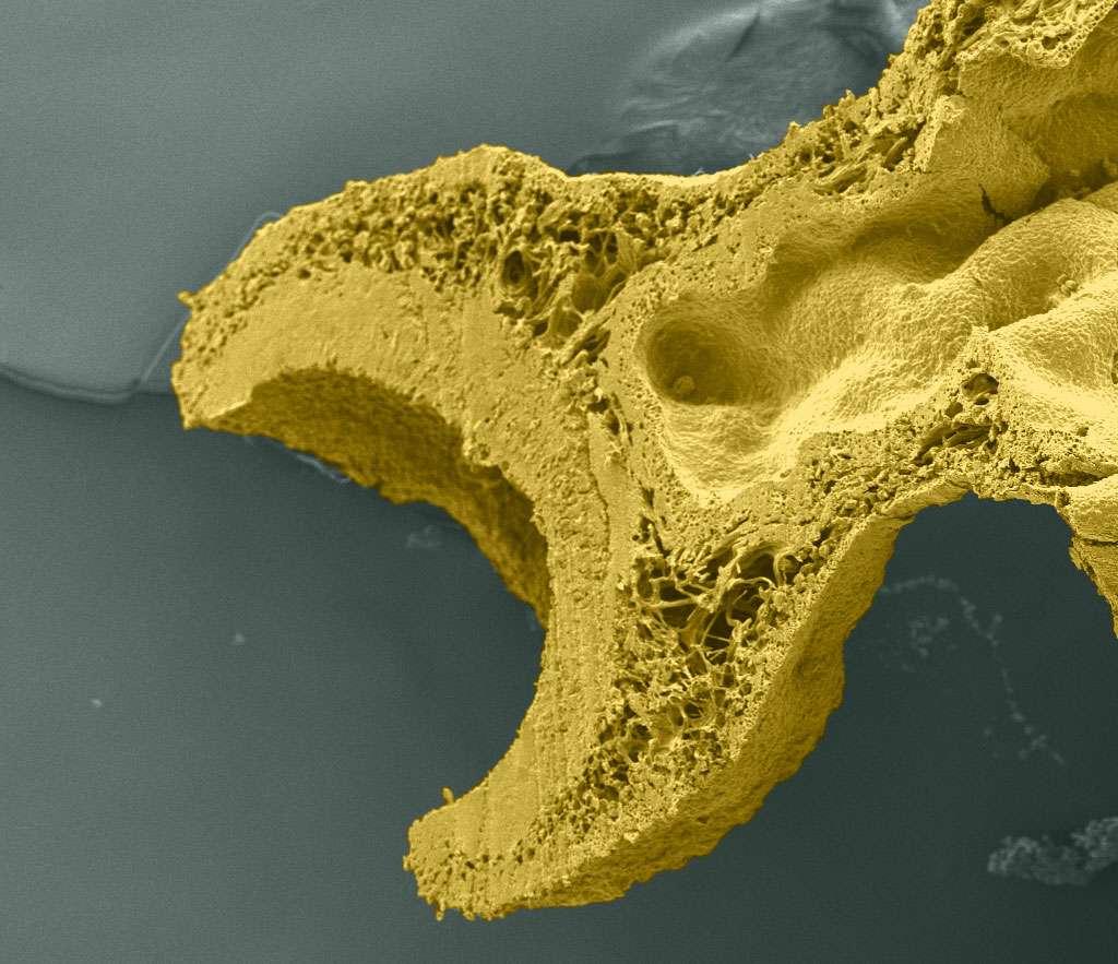 Une coupe d'apothécie vue au microscope électronique à balayage nous fait penser à la clef miniature ouvrant la porte du savoir. © Yannick Agnan - Tous droits réservés