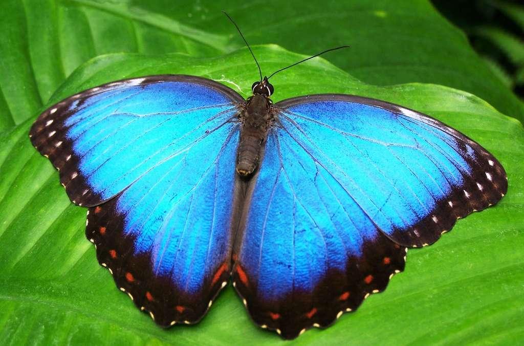 L'iridescence donne aux ailes du papillon morpho qui vit dans les forêts tropicales, une couleur bleu métallique. © Garoche, Pixabey, CC0 Creative Commons