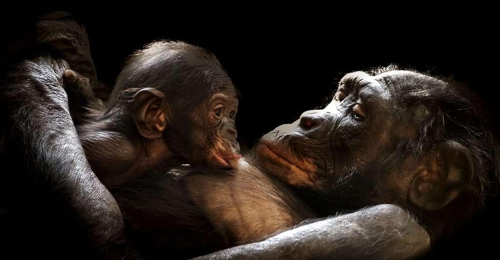 Gorilles, le tendre regard d'une maman. © GerMai, Pixabay, DP