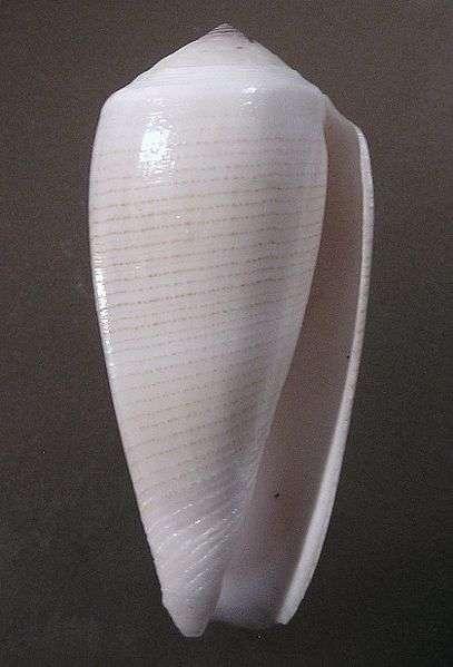 Le cône mage Conus magus est un gastéropode qui ne paie pas de mine mais qui possède un venin très mortel... à l'origine lui aussi d'un médicament antidouleur nommé Ziconotide. © Jan Delsing, Wikipédia, DP