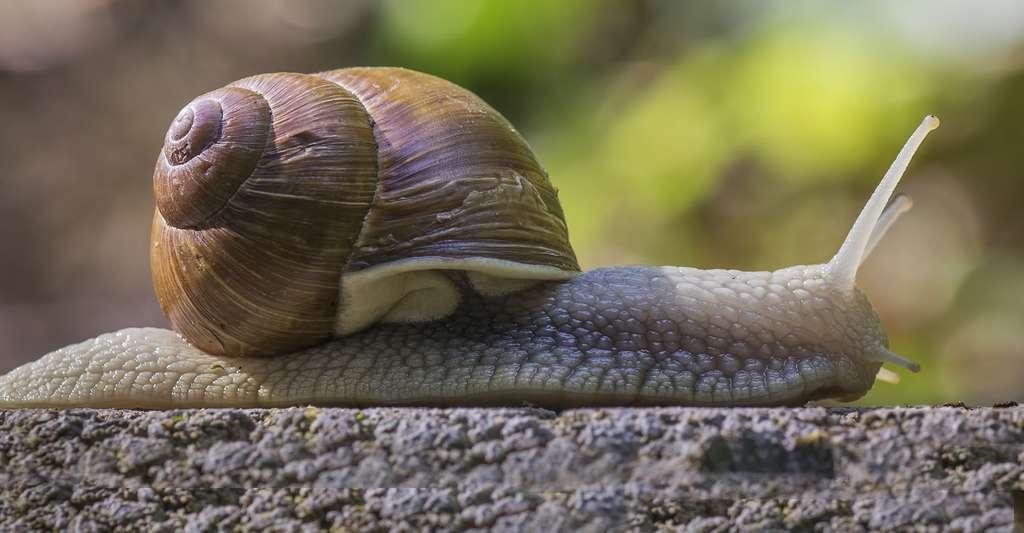 L'escargot, Helix pomatia, appartient à la classe des gastéropodes. © David Marquina Reyes, Flickr, CC by-nc 2.0