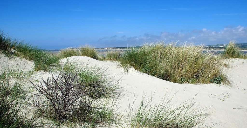 Figure 16. Colonisation d'une dune par des oyats sur les dunes du Touquet. © DEZALB CCO