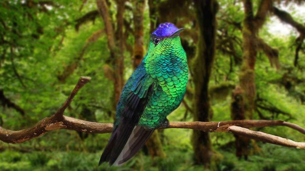 Colibri à calotte violette