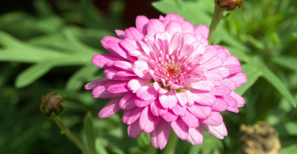 Argyranthemum frutescens Kudel Start. © Skyprayer2005, Shutterstock
