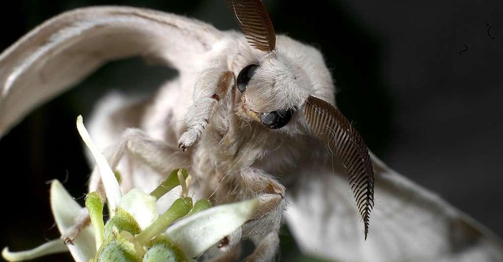 Ce sont les glandes salivaires de la chenille du bombyx du mûrier qui produisent la soie. © Nicola Dal Zotto, Shutterstock