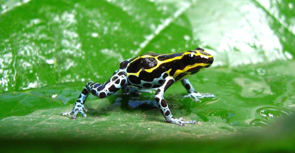 Le poison des dendrobates d'Amérique du Sud, des grenouilles, est très toxique. © Fabio Maffei, Shutterstock