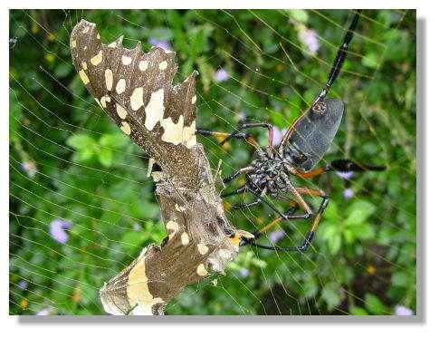 Prédation d'un papillon © Photo Philippe Mespoulhé
