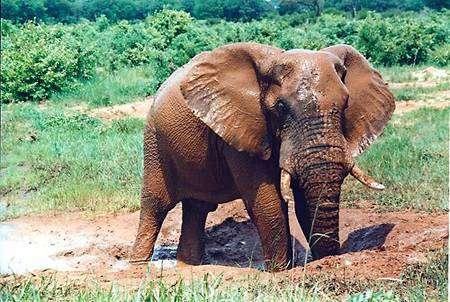 Eléphant du Parc national du Hwange. Crédit : JackyR (licence GNU)