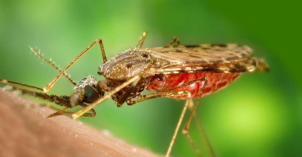 Quelles sont les connaissances médicales des Saramaka ? Ici, un Anopheles albimanus se nourrissant de sang sur un bras humain. © James Gathany, DP