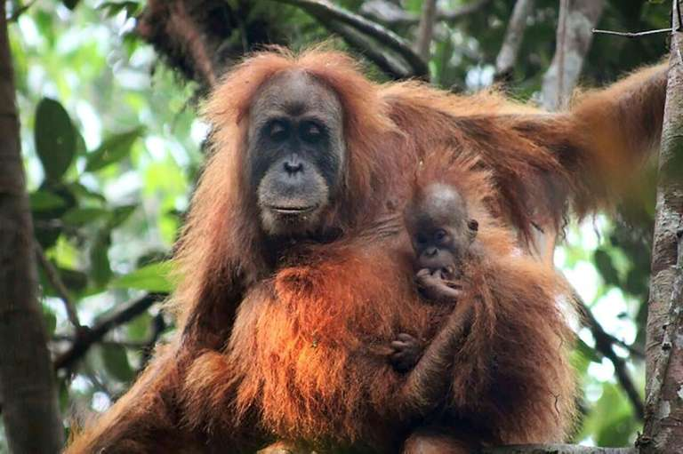 Une photo non datée, fournie par le Programme de conservation des orangs-outans de Sumatra, montre un orang-outan Tapanuli, dans la réserve de Batang Toru, en Indonésie. © Handout, Sumatran Orangutan Conservation, AFP