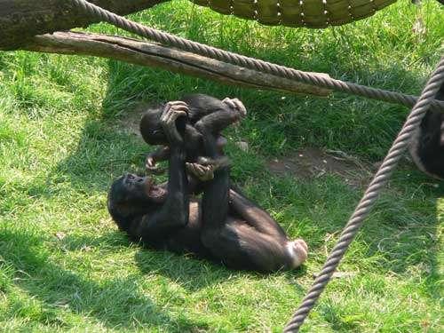 Le bonobo (Pan paniscus) est une espèce très tolérante comme le macaque de Tonkean. © Marie Pelè - Reproduction et utilisation interdites