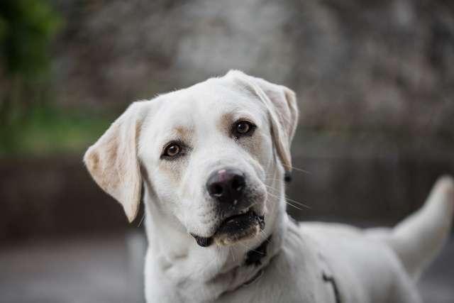 L'odorat très sensible des labradors en fait d'excellents chiens renifleurs pour la détection des produits électroniques. © Zoebg, Fotolia