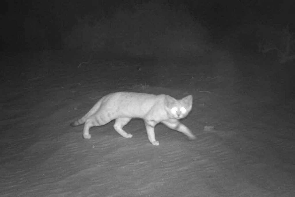 Une des 46 images du chat des sables photographié la nuit dans la zone protégée de la Baynouna. © Environment Agency, Abou Dhabi
