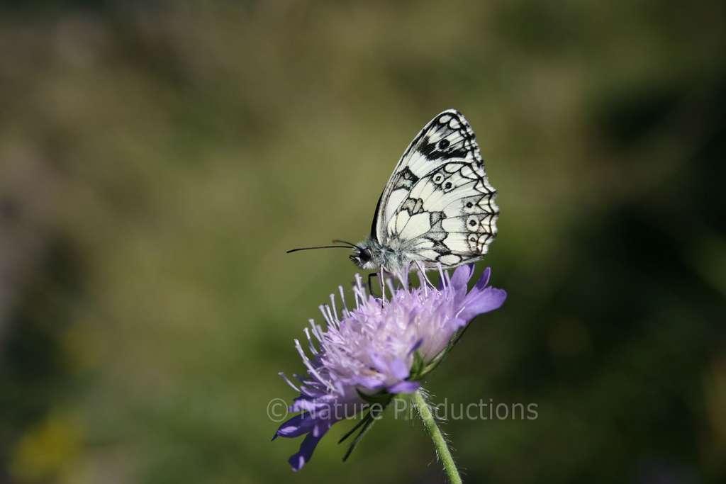 C'est dans les graminées que le demi-deuil mâle recherche une femelle. Cette dernière abandonnera ses œufs en vol. © N. Macaire, DR