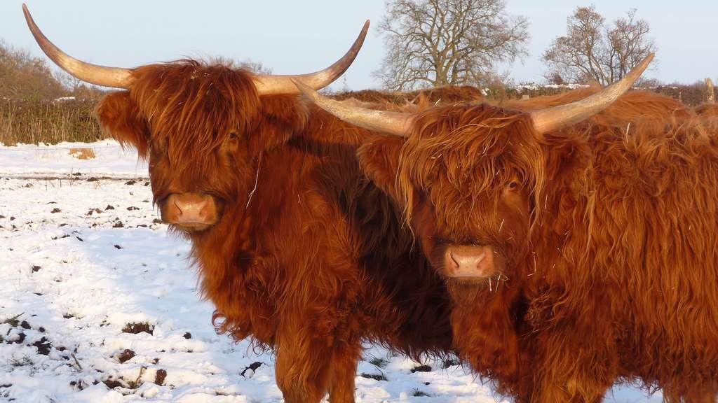La highland, une vache aux poils longs