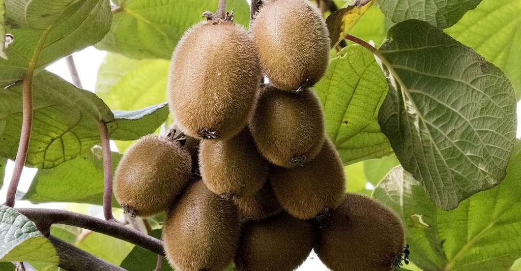 L'actinidia est la plante qui donne des kiwis. Les kiwis possèdent une forte proportion d'antioxydants. © Zeynel Cebeci, Wikimedia Commons, CC by-sa 4.0