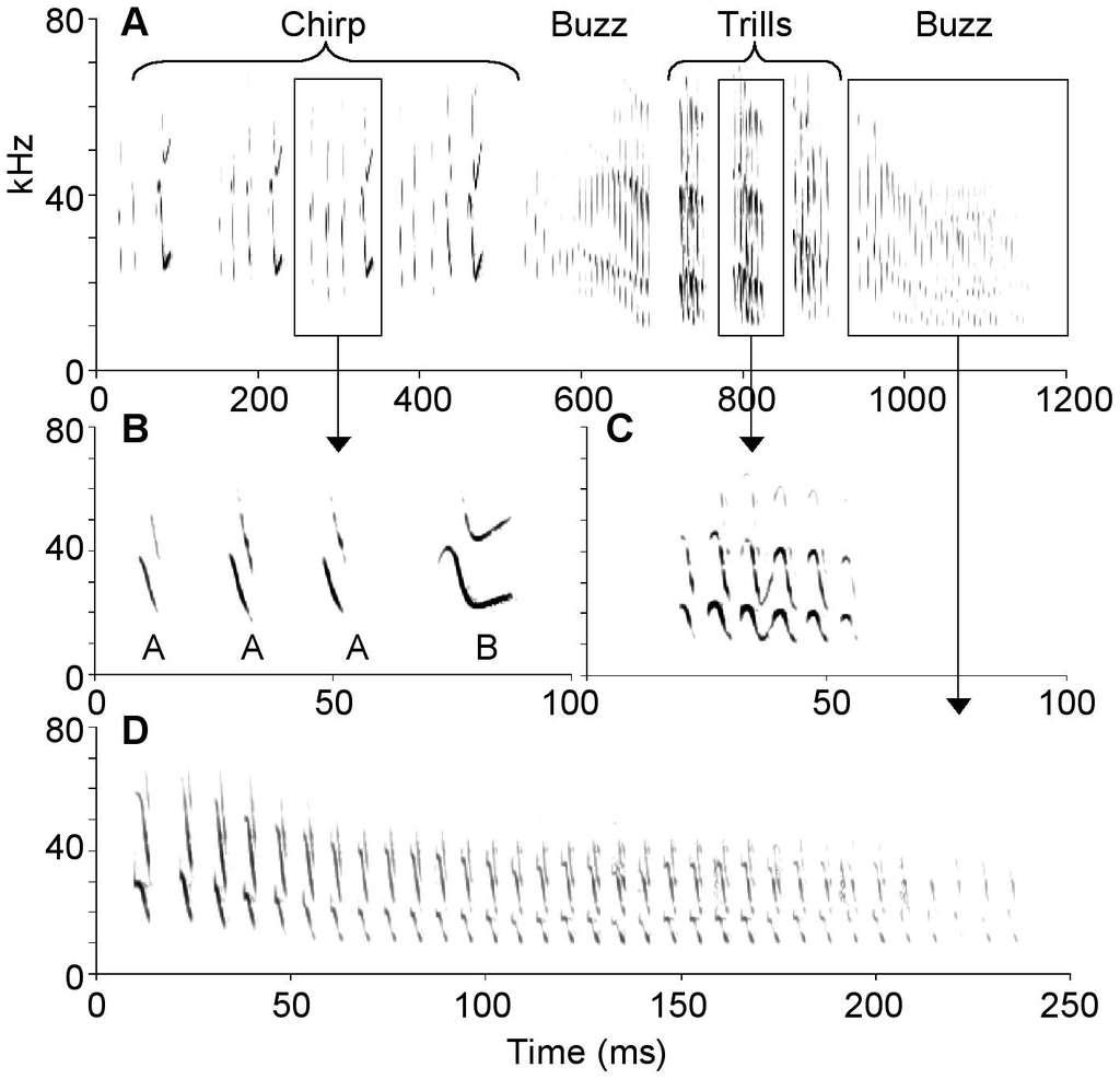 Ceci est un chant d'amour pour conter fleurette aux Molosses du Brésil femelles (Tadarida brasiliensis). Il est composé de quatre phrases : un gazouillis (Chirp), un bourdonnement (Buzz), un trille (Trills) et un autre bourdonnement. On remarque que le gazouillis est composé de sons courts (les syllabes A, descendantes) et des syllabes longues et complexes (B). Dans le trille, la succession de notes hautes et basses forment une sinusoïde. La chanson se termine par un long bourdonnement, interminable (presque 250 millisecondes !). Les Molosses mâles n'utilisent pas toutes les combinaisons possibles de phrase : il existe une syntaxe. © Kirsten M. Bohn et al./PloSone