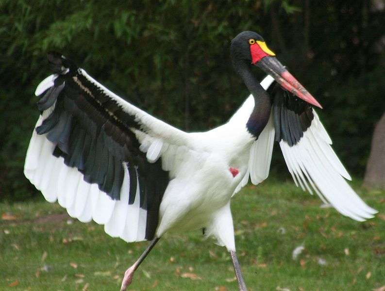 Jabiru d'Afrique écartant les ailes. © Alois Staudacher, GNU FDL Version 1.2