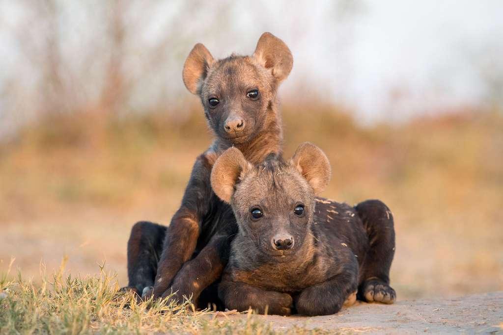 D'adorables petites hyènes, les yeux grands ouverts sur le monde
