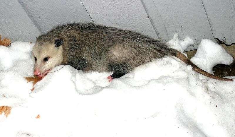 La sarigue de Virginie (Didelphis virginiana) est aussi appelée opossum d'Amérique. © Hardyplants, Wikipédia, DP