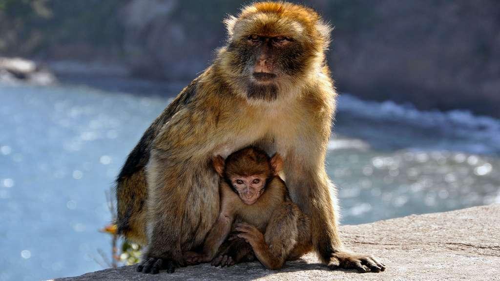 Le macaque de Barbarie