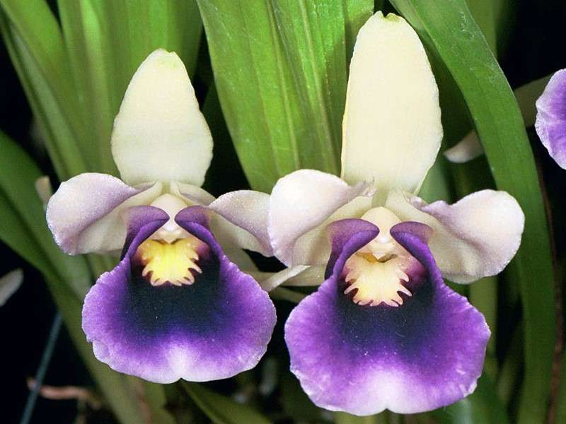 Orchidée Cochleanthes